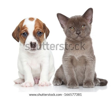 Portrait of Jack Russell terrier puppy and burmese kitten on a white background - stock photo