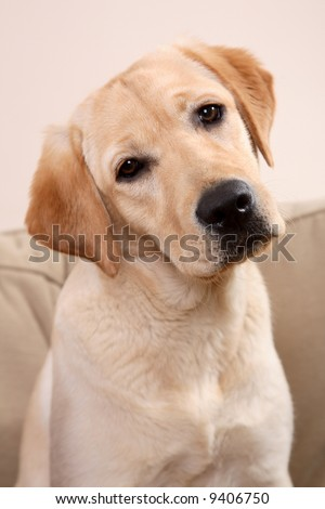 Portrait of labrador - stock photo