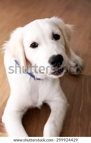 Portrait of Labrador puppy lying on wooden floor indoors - stock photo