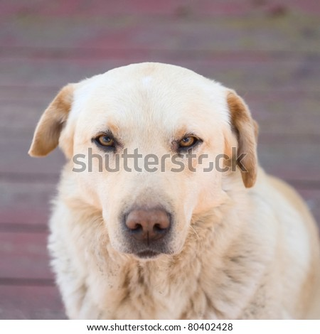 Portrait of Labrador Retriever. Focus on eyes. - stock photo