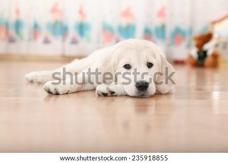 Portrait of labrador retriever puppy lying on the floor  - stock photo