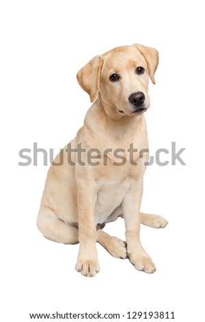 Portrait of labrador retriever puppy sitting