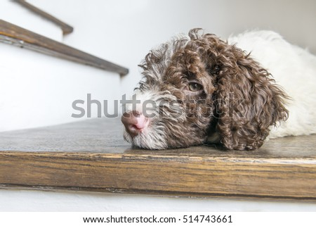 Portrait of lagotto romagnolo puppy resting on a wooden floor
