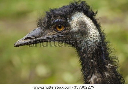 Portrait of large black Emu ostrich, animal background - stock photo