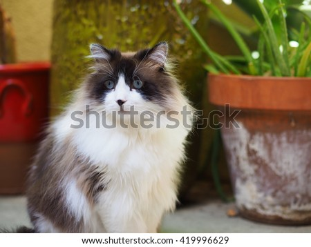 Portrait of Large Brown White Bi-Color Long Haired Regal Ragdoll Cat Sitting with Plants in Background