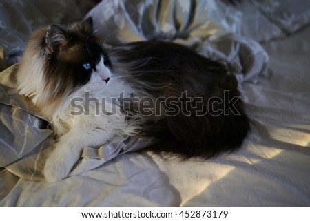 Portrait of Large Long Haired Bi Color Brown White Ragdoll Cat with Blue Eyes and Black Button Nose Laying in Bed