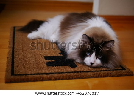 Portrait of Large Long Haired Bi Color Brown White Ragdoll Cat with Blue Eyes and Black Button Nose Laying on Door Mat  - stock photo