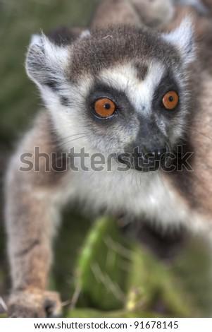 portrait of lemur catta (ring tailed lemur) - stock photo