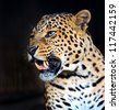 Portrait of Leopard - stock photo