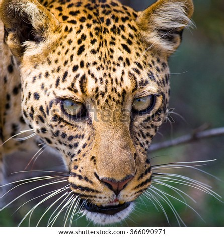 Portrait of Leopard. Close-up. National Park. Kenya. Tanzania. Maasai Mara. Serengeti. An excellent illustration.