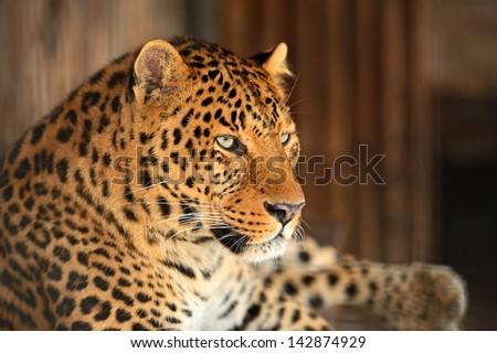 Portrait of leopard in its natural habitat - stock photo