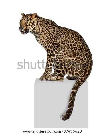 Portrait of leopard, Panthera pardus, on pedestal against white background, studio shot - stock photo