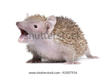 Portrait of Lesser Hedgehog Tenrec with mouth open, Echinops telfairi, in front of white background - stock photo