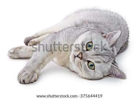 Portrait of Light Gray British Shorthair cat lying on a white background. - stock photo
