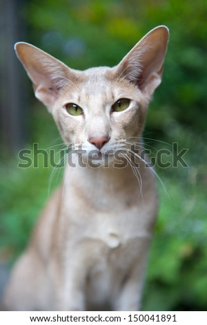 Portrait of lilac siamese in the garden - stock photo