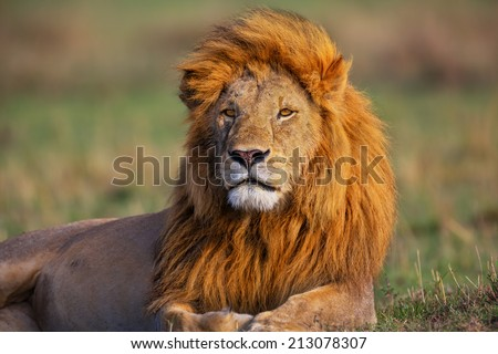 Portrait of Lion Romeo 2 enjoying the first rays of sun in Masai Mara, Kenya