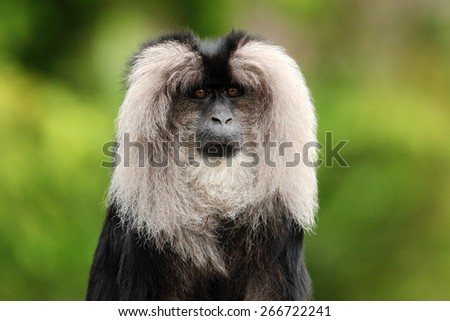 Portrait of Lion-tailed Macaque, Macaca silenus,  - stock photo