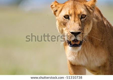 Portrait of lioness in central Serengeti national park, Tanzania - stock photo