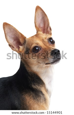 portrait of little dog (toy terrier) isolated on white