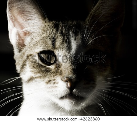 Portrait of little domestic cat with strong shadow