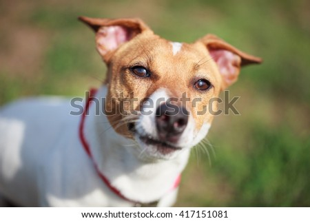 Portrait of little Jack Russell puppy in green park. Cute small domestic dog, good friend for a family and kids. Friendly and playful canine breed - stock photo