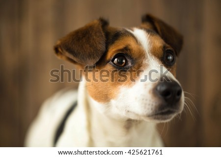 Portrait of little Jack Russell puppy sitting alone on the stairs outdoors. Cute small domestic dog, good friend for a family and kids. Friendly and playful canine breed - stock photo
