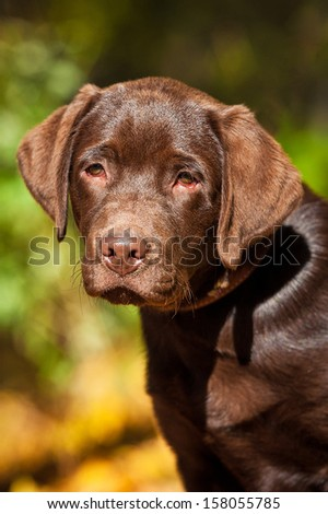 Portrait of little labrador puppy in the park in autumn - stock photo