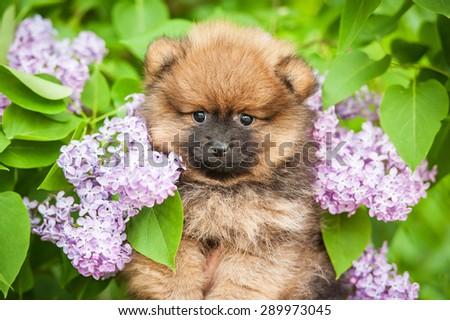Portrait of little pomeranian spitz puppy in flowers - stock photo