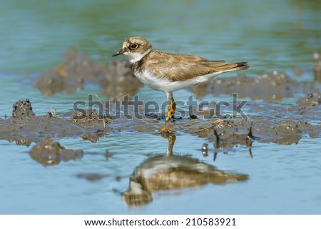 Portrait of Little Ringed Plover (Charadrius dubius) in nature - stock photo