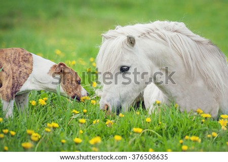 Portrait of little shetland pony and american staffordshire terrier dog - stock photo