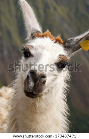 Portrait of Llama Alicia from South America - simbol of Peru - stock photo