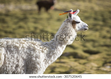 Portrait of llama (Lama glama) early in the morning at high altitude in Bolivia. - stock photo