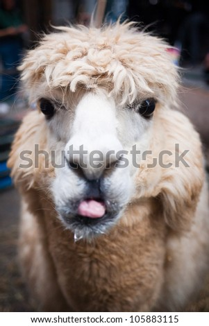 Portrait of llama sticking out its tongue. - stock photo