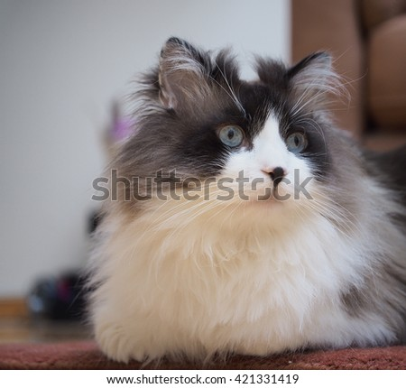 Portrait of Long Haired Bi-Color Brown White Blue Eyed Ragdoll Cat with Black Button Nose - stock photo