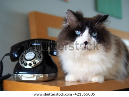 Portrait of Long Haired Bi-Color Brown White Blue Eyed Ragdoll Cat with black button nose sitting with Vintage Black Rotary Phone on Wooden Side Table - stock photo