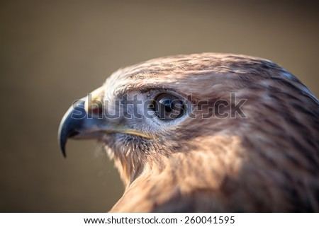 Portrait of Long-legged buzzard during sunset - stock photo