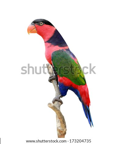 portrait of lorikeet birds isolated over white background - stock photo