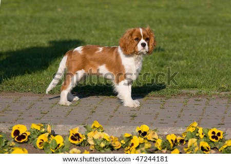 Portrait of lovely Cavalier King Charles spaniel