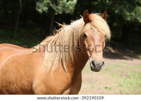 Portrait of lovely chestnut pony with nice mane looking at you - stock photo