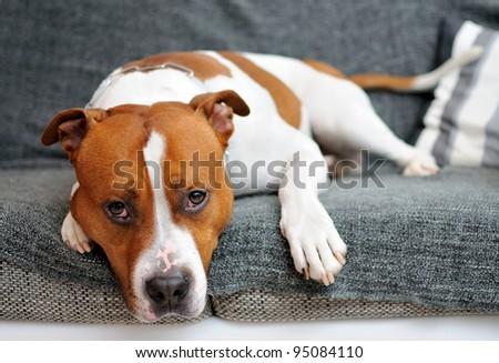 Portrait of lying American Staffordshire bull terrier. - stock photo