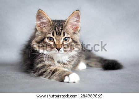 portrait of lying cat - stock photo