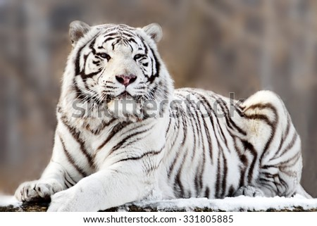 Portrait of lying white Bengal tiger outdoors, soft focus - stock photo