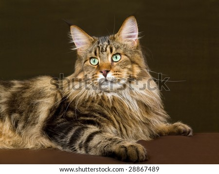 Portrait of Maine Coon brown tabby - stock photo