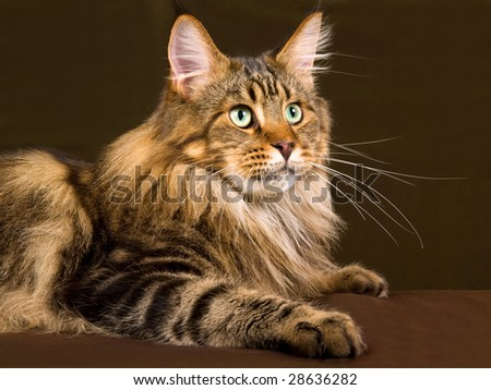 Portrait of Maine Coon brown tabby adult cat against bronze green background - stock photo