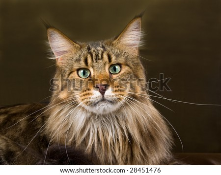 Portrait of Maine Coon brown tabby adult on green bronze shiny background - stock photo