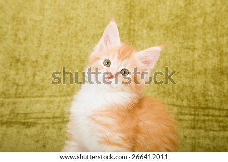 Portrait of Maine Coon kitten on green background  - stock photo