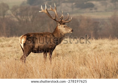 Portrait of majestic powerful adult Red Deer Stag - stock photo