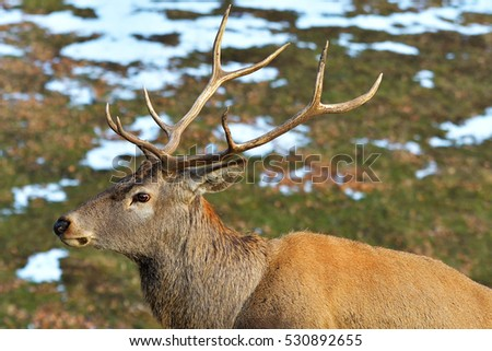 Portrait of majestic powerful adult red deer stag in Autumn Fall forest