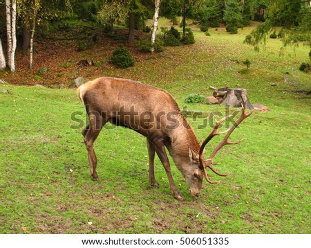 Portrait of majestic powerful adult red deer stag in autumn forest. A adult red deer stag