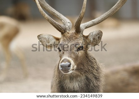 Portrait of majestic powerful adult red deer stag in the garden of Vietnam's largest Saigon Zoo and Botanical Gardens ( Thao Cam Vien ) at downtown of Ho Chi Minh City, Vietnam - stock photo